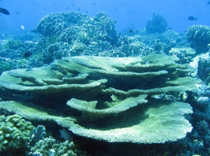 A coral garden of Helen Reef (photo credits: Louis Tamaggaan)